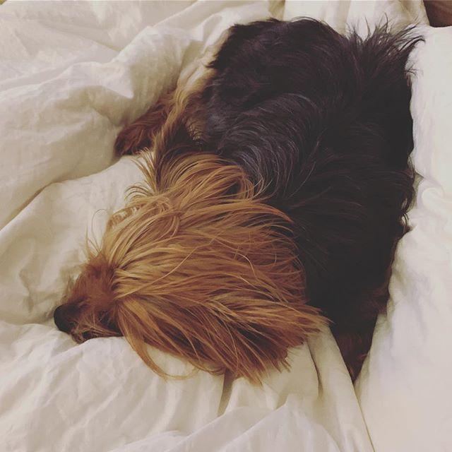 Mood #yorkiesofinstagram #pupper #doggo #dogsofinstagram #yorkie #yorkies