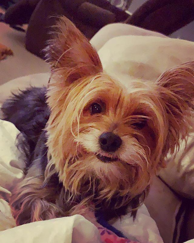 My nickname is squirrel 🐿  #yorkiesofinstagram #dogsofinstagram #doggo #pupper