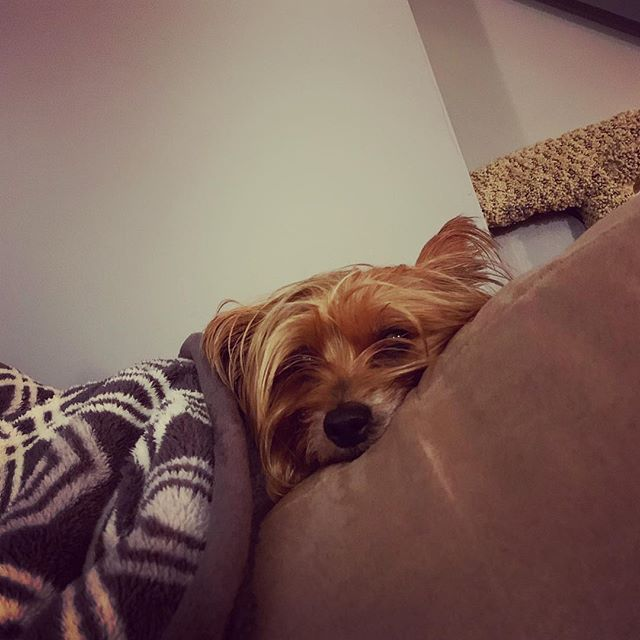 If you guys could send prayers and positive vibes to this girl. She has a really bad tummy ache #yorkie #dogsofinstagram