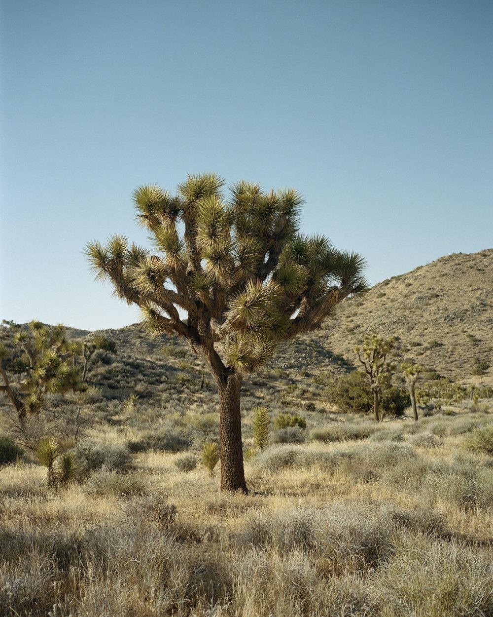 joshua tree001.jpg