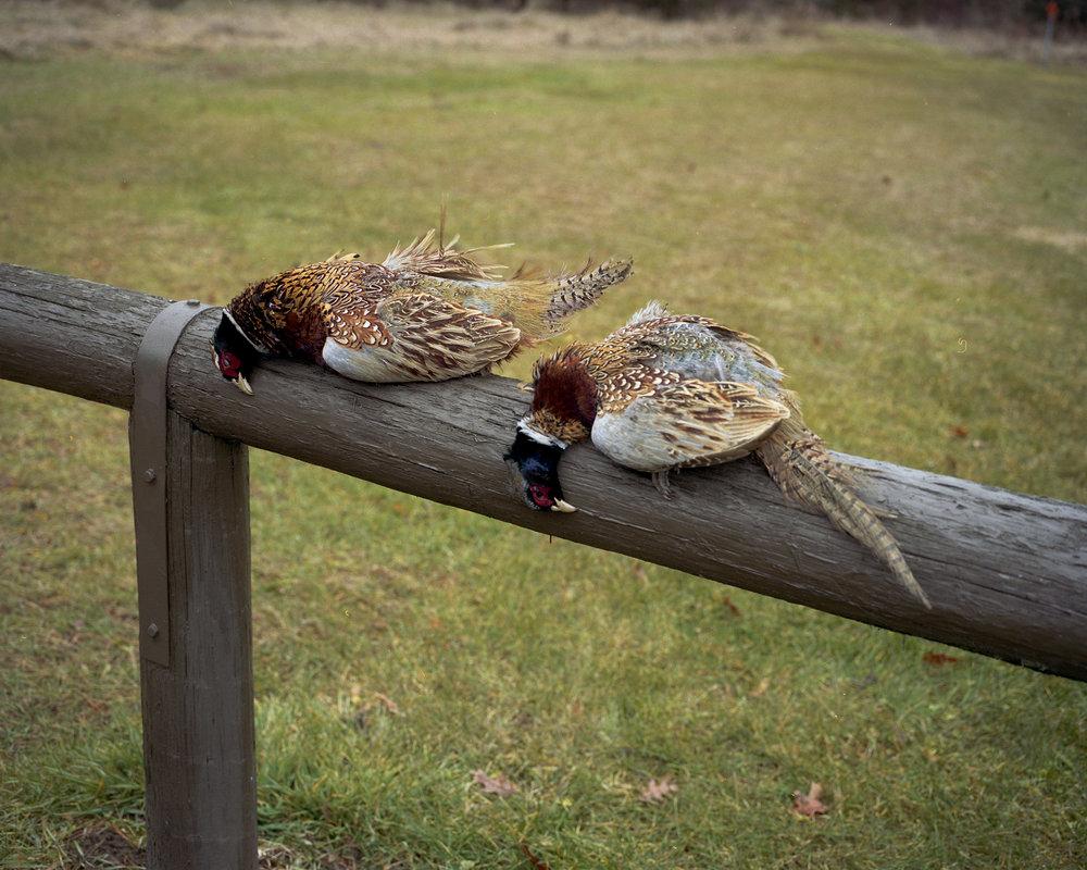pheasant003.jpg