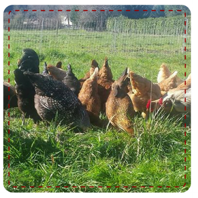 Pastured Hens.png
