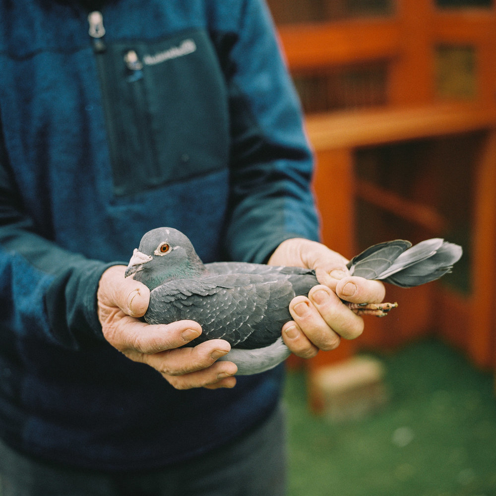 Charlie Lawrence holds one of his racing pigeons
