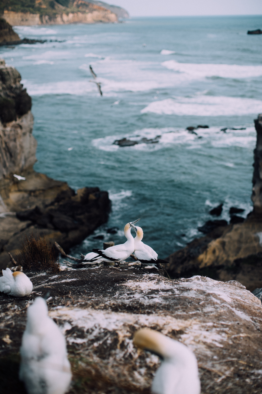 a sign read that gannets are monogamous and they stay together for years or even their whole lives. we got to witness this cute couple sittin' in a tree, and also a single guy trying his best to attract the ladies by shaking it like a polaroid picture