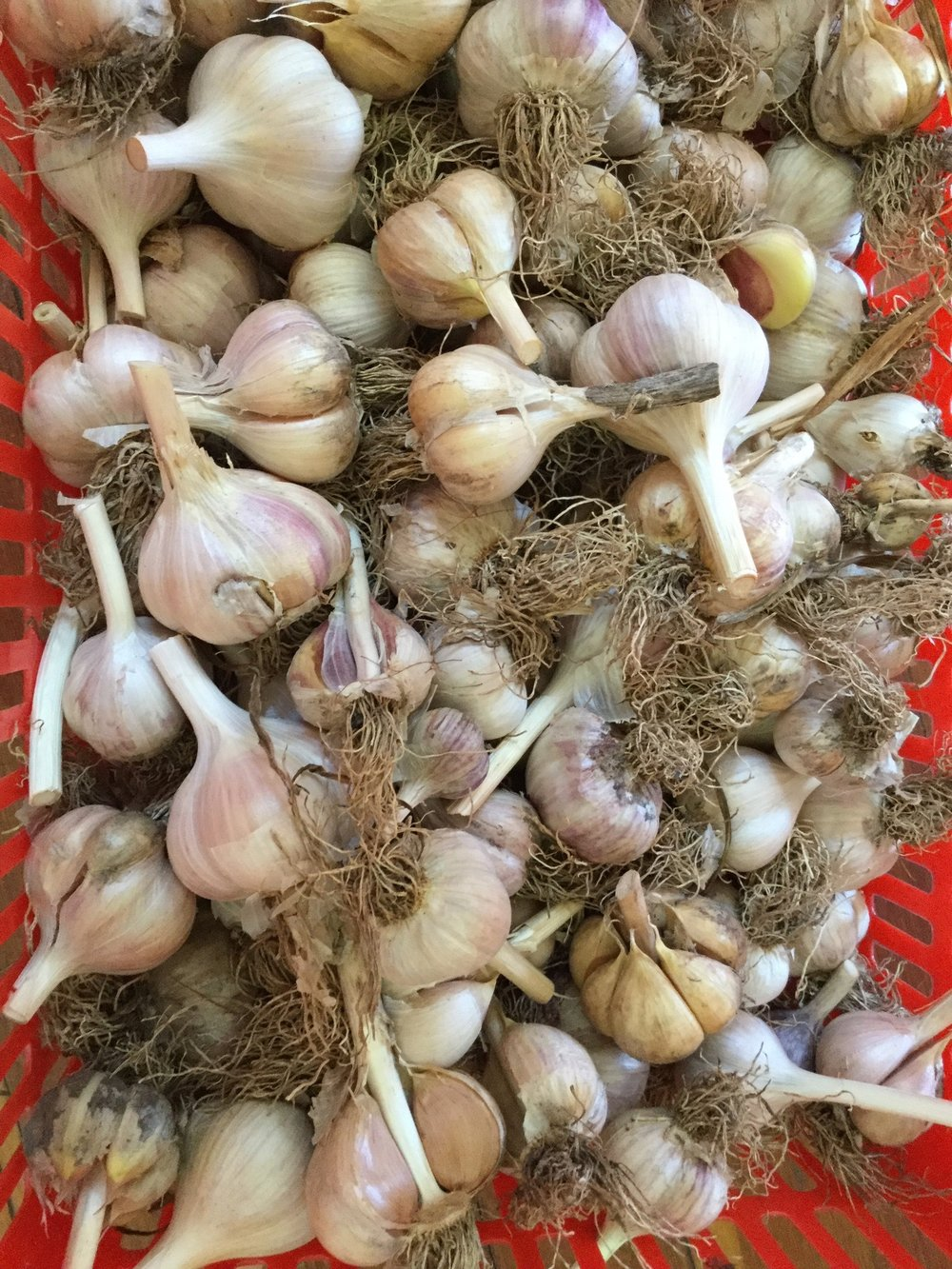 Garlic First Year