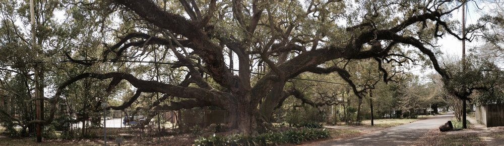 The Duffie Oak, a 300-year-old live oak in Mobile, Alabama.