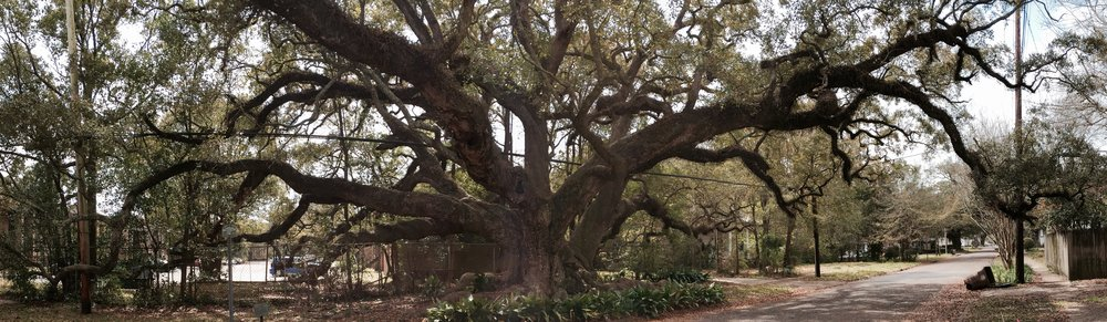 The Duffie Oak sprawls across a neighborhood in Mobile, Ala. Rick Holmes photo