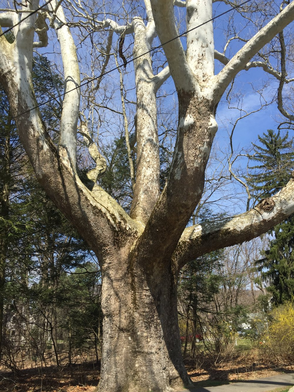 "This sycamore in Sunderland, Mass., has been certified a ""significant tree."" Rick Holmes photo"