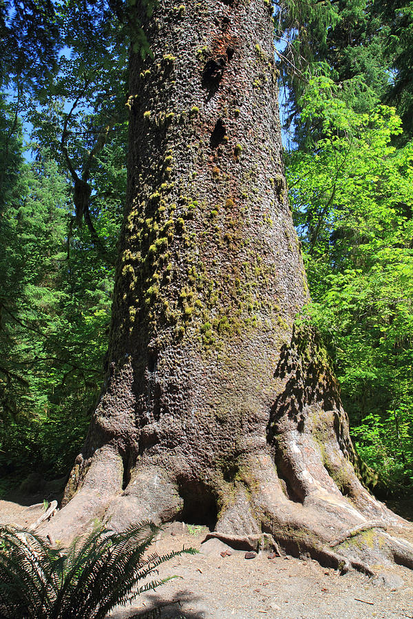 This Sitka spruce in the Hoh Rainforest in Olympic National Park, was toppled by a storm in 2015.