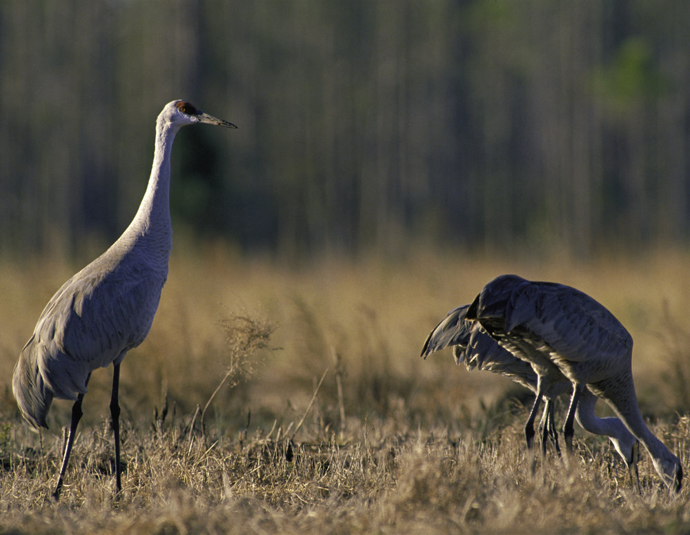 Three Mississippi sandhill cranes grazing on the national refuge near Gautier, Miss. Photo by U.S. Fish and Wildlife Service