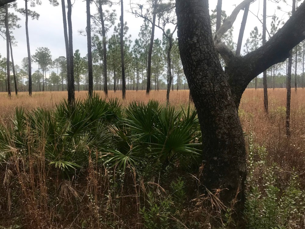 The wet pine savanna habitat in the Southeastern U.S. has shrunk to less than 5 percent of its former size. Rick Holmes photo