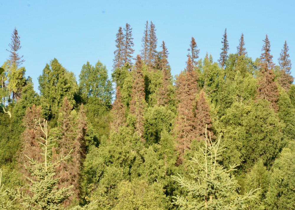 Dead white spruce trees near Denali National Park, killed by bark beetles and climate change.