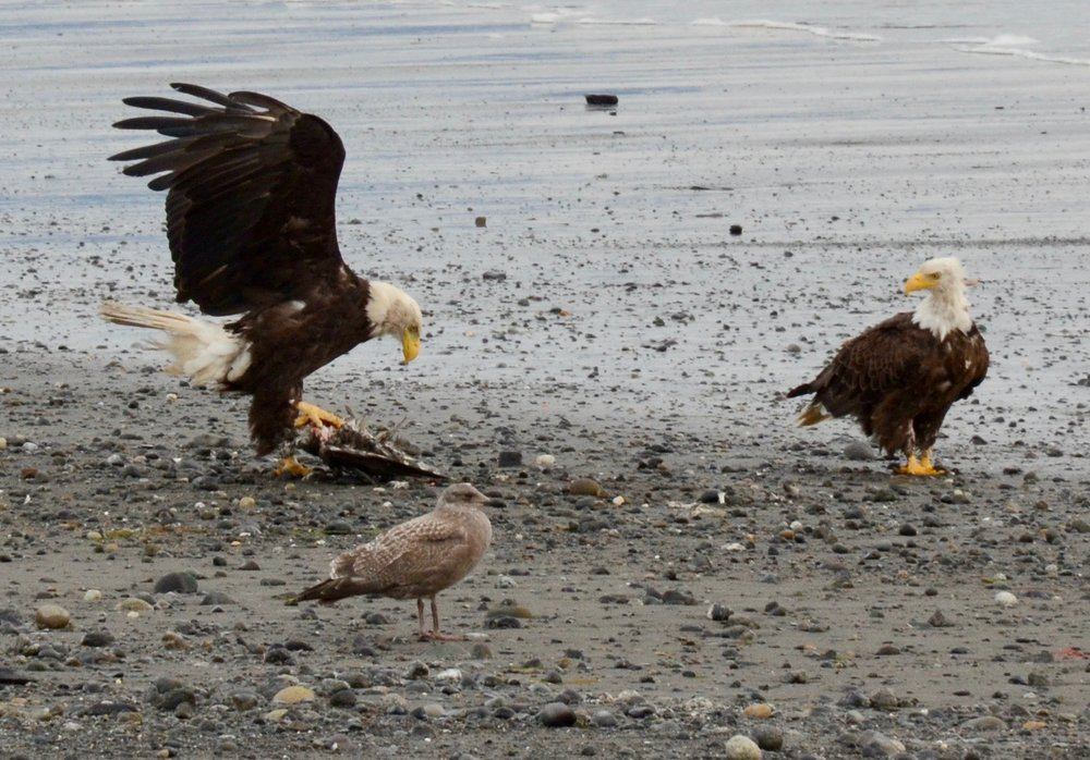Bald eagles picnicking on the beach in Homer.
