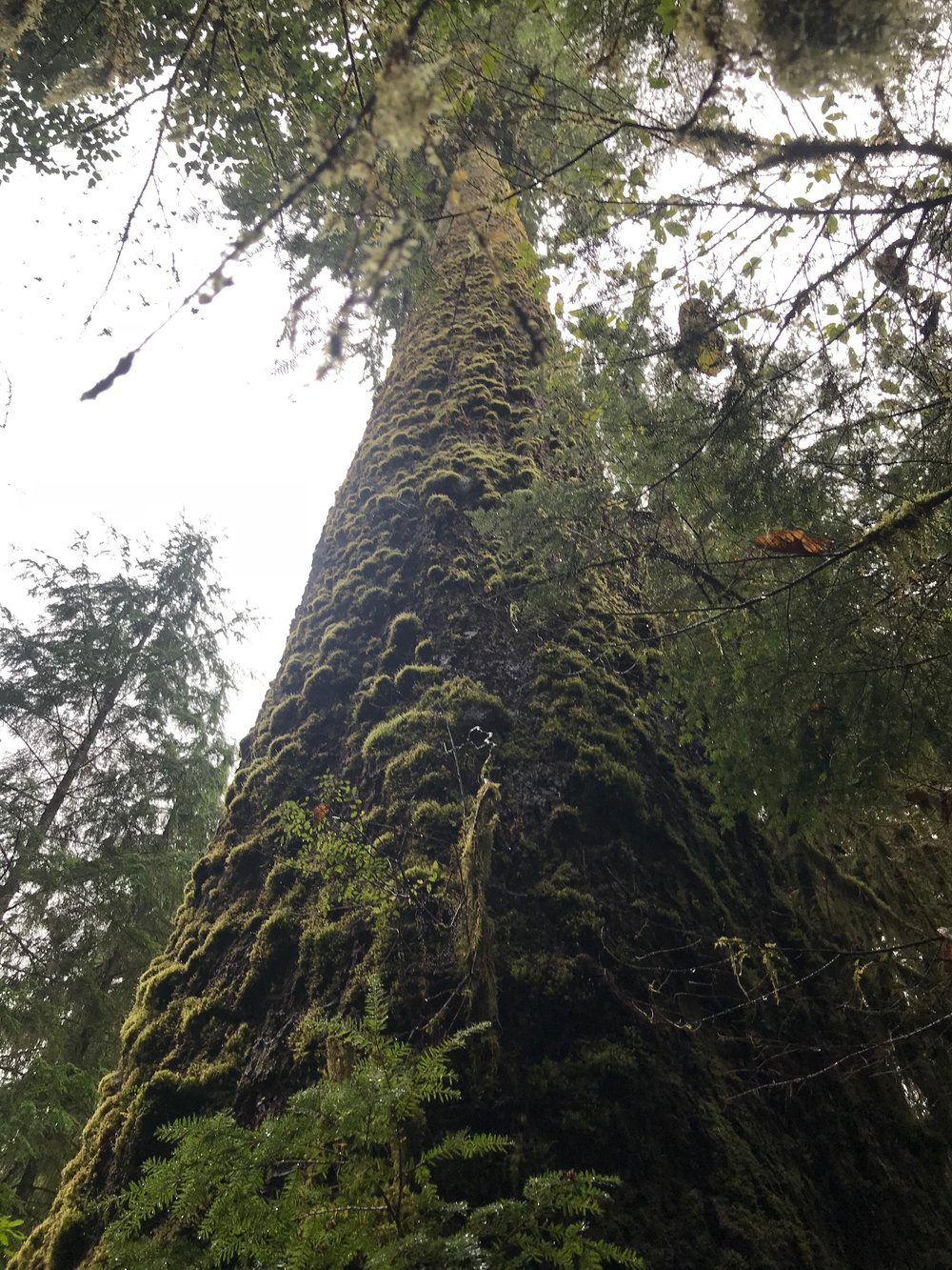 Another of the Olympic National Park's giants.