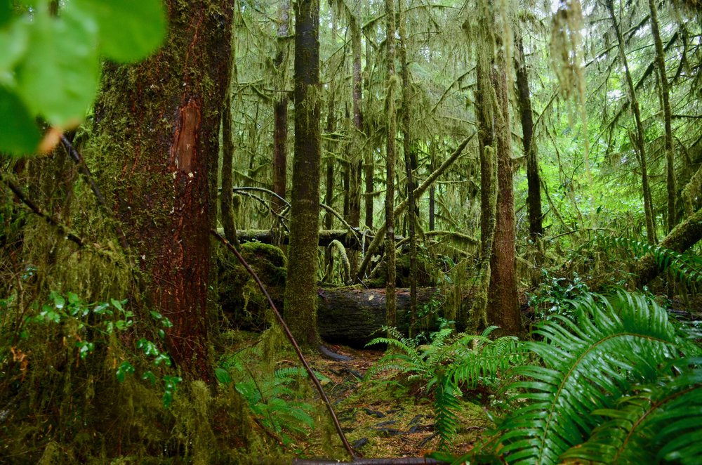 The temperate rainforest teems with energy and life.