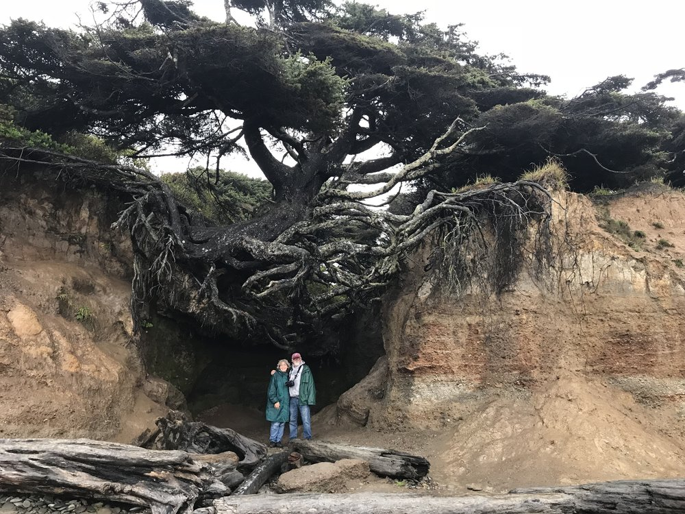 "The ""tree of life"" somehow survives on the Washington coast despite its exposed roots."