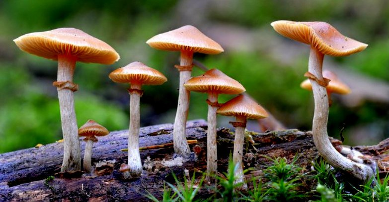 Psilocybin, which comes from these mushrooms is proving to be potent medicine for a wide range of mental illnesses. Photo by Imperial College London.