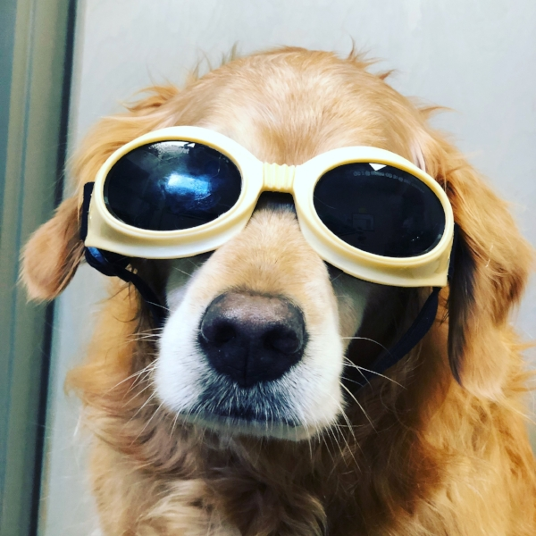 Allie has on her goggles to protect her while she gets laser therapy for her arthritis.