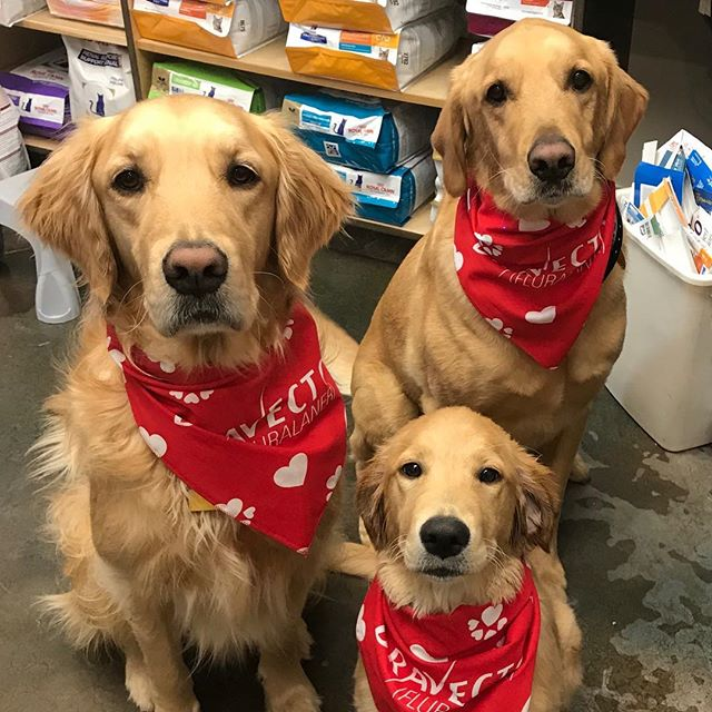 #goldens are having a picture perfect day!