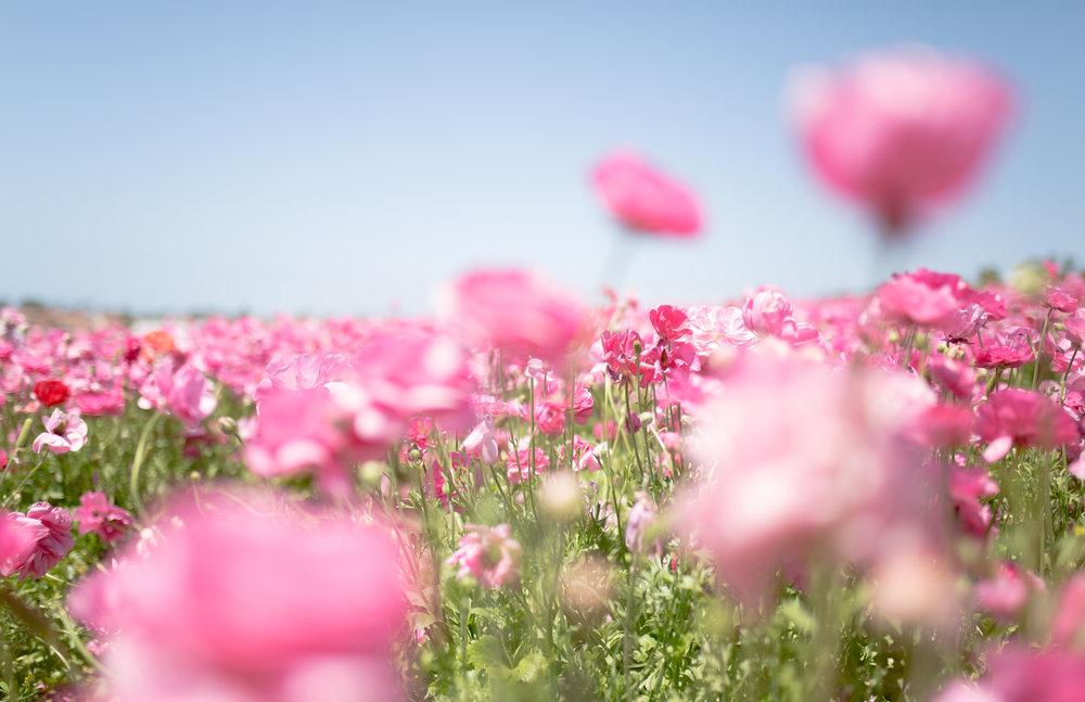 PinkFlowers-11x17.jpg