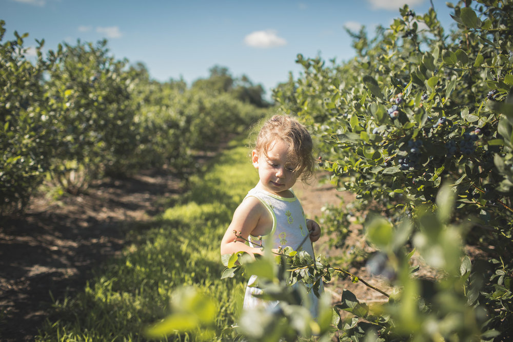 toddler girl soaking in her environment on a blueberry farm