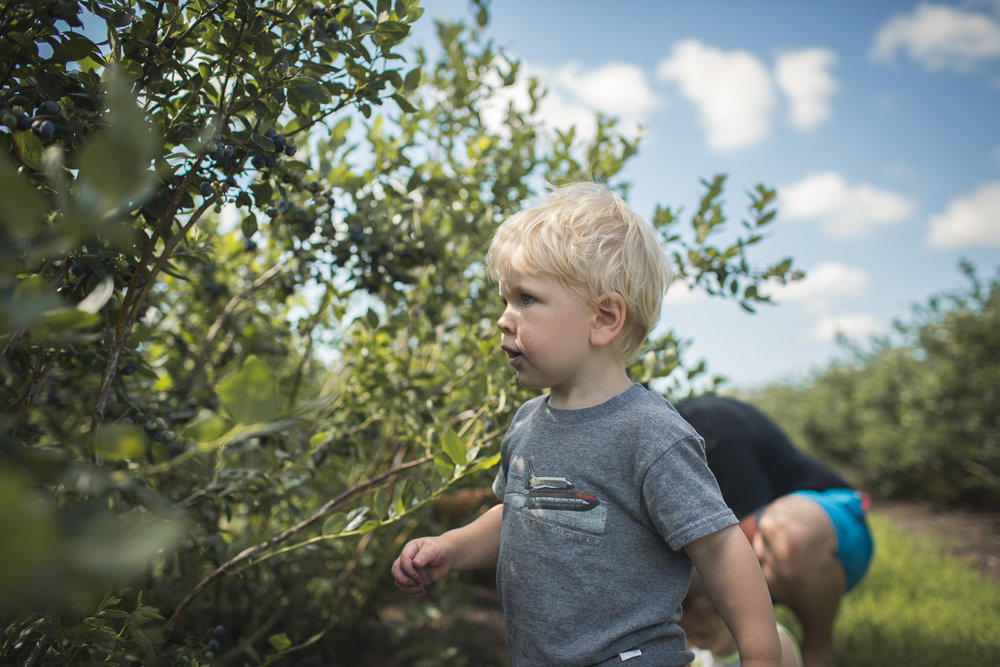 toddler boy seeking out blueberries on bush