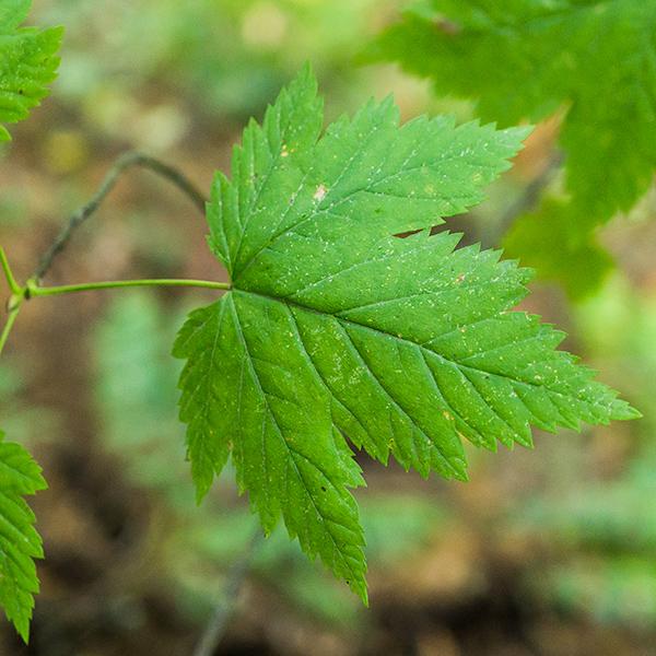 3-lobed (or 5-lobed) leaf of Douglas maple