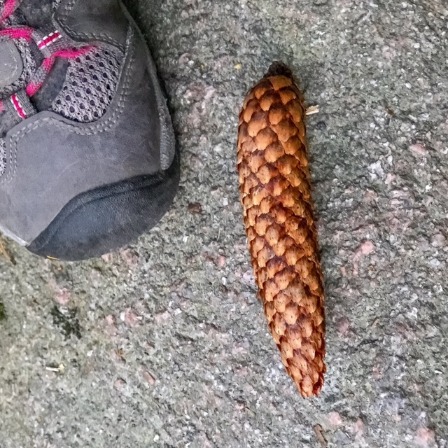 "Norway spruce cone, length 5"" / 12cm"