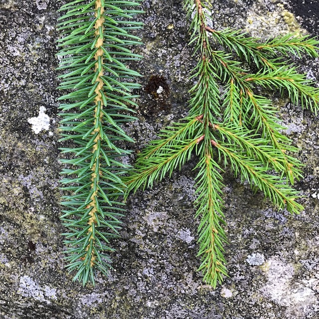 Top view: Sitka spruce vs. Norway spruce