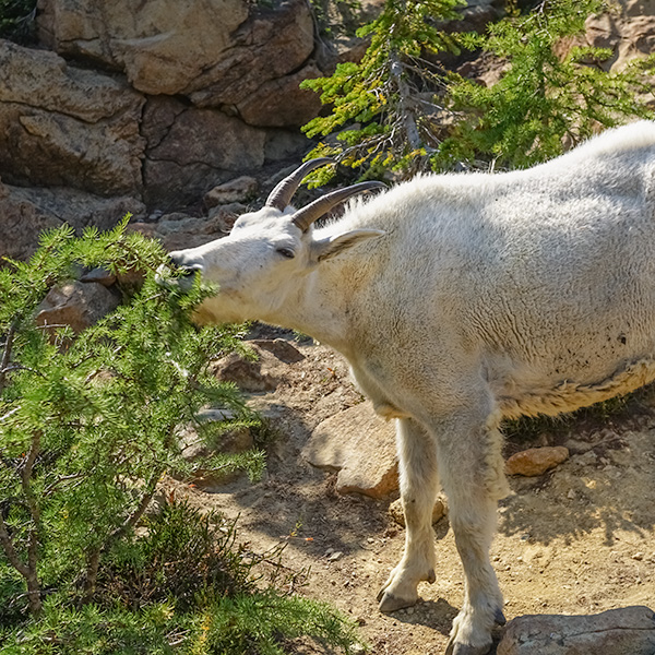 mountain goat eating subalpine larch