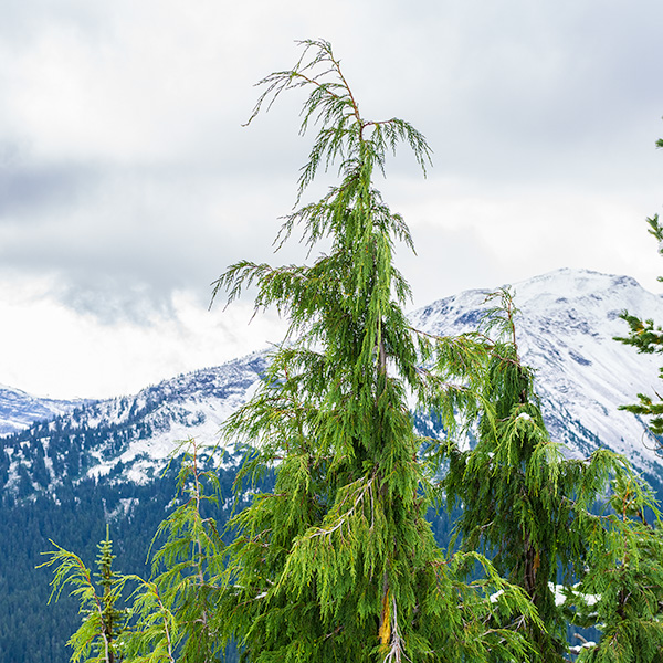 native Alaska yellow-cedar in the mountains