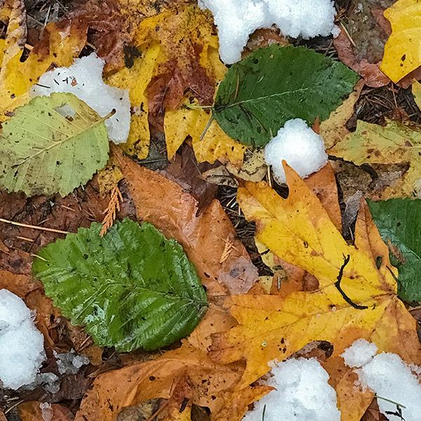 alder leaves, still green