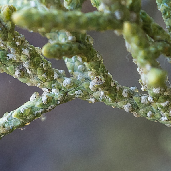 glands on western juniper (enlarged)