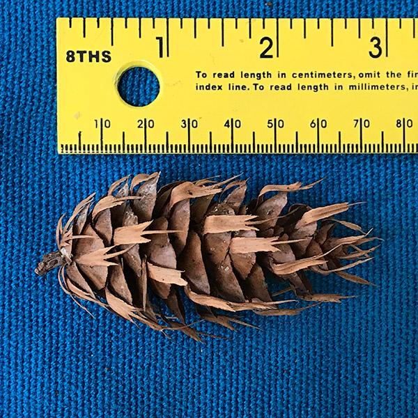 Douglas-fir cone