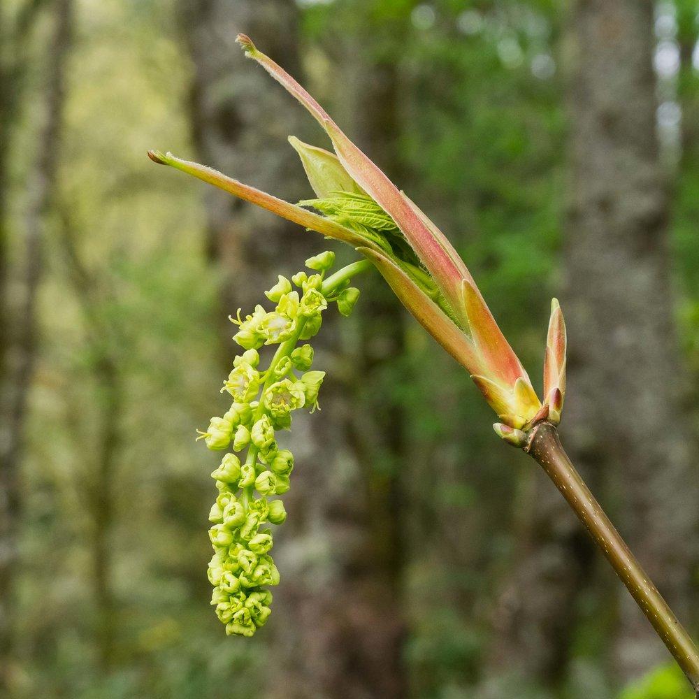 April flowers on bigleaf maples