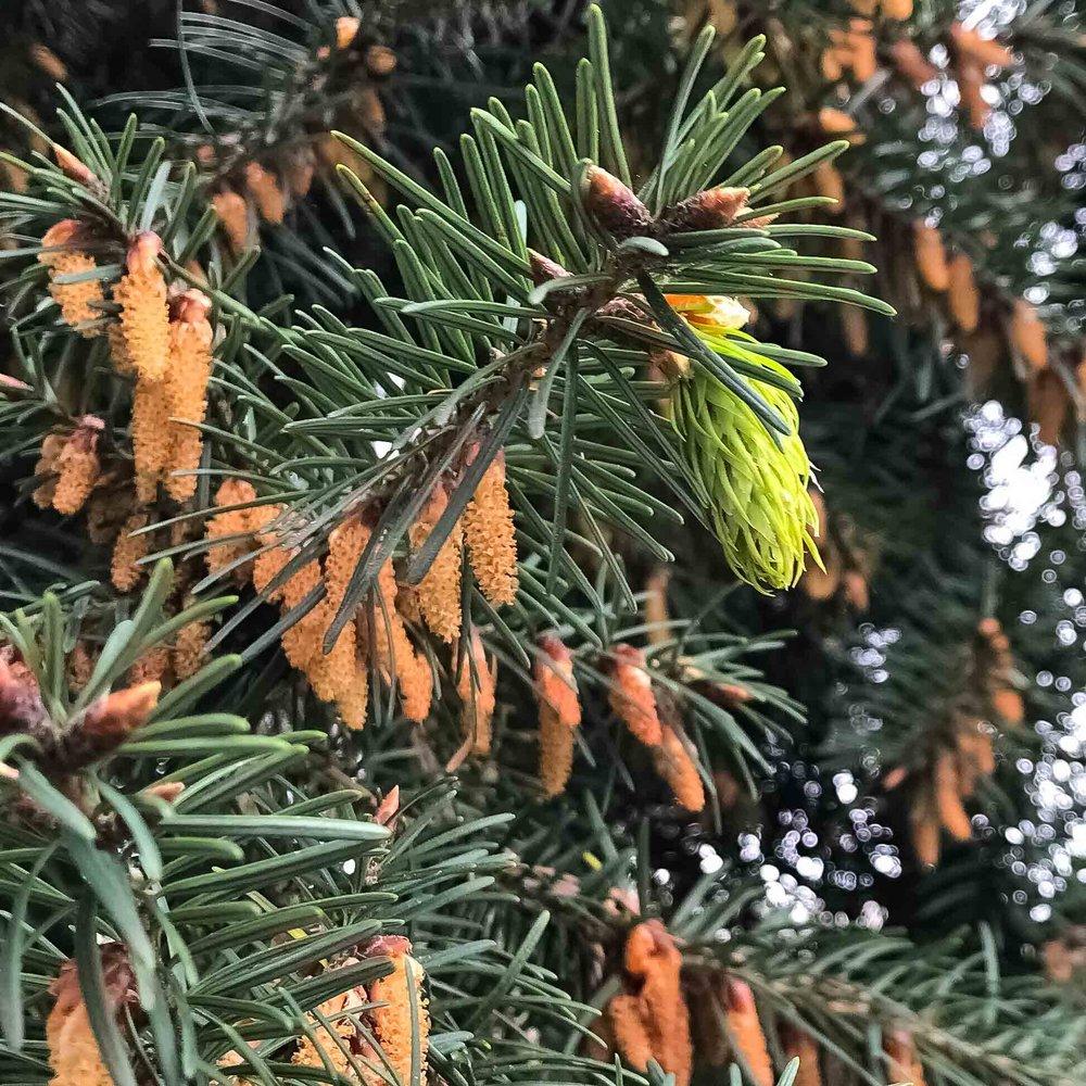 Douglas-fir cones, male & female