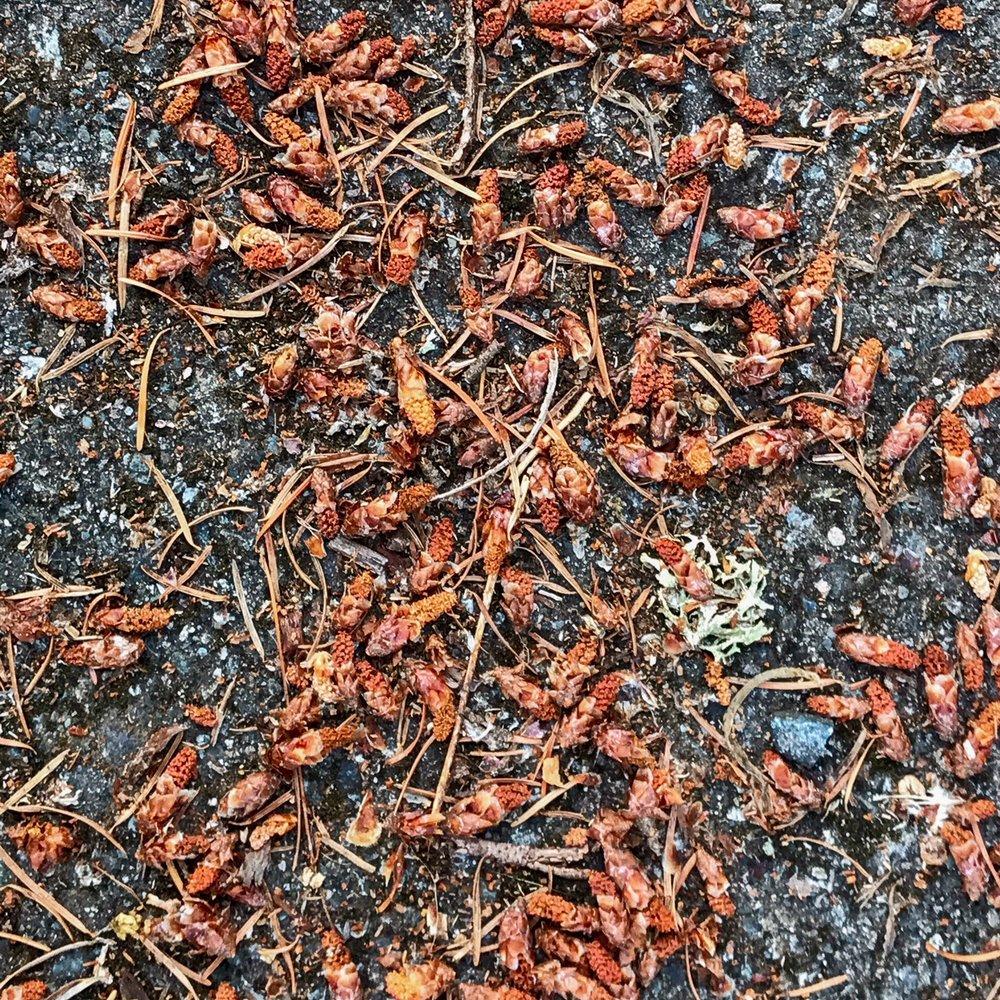 Douglas-fir pollen cones on the road