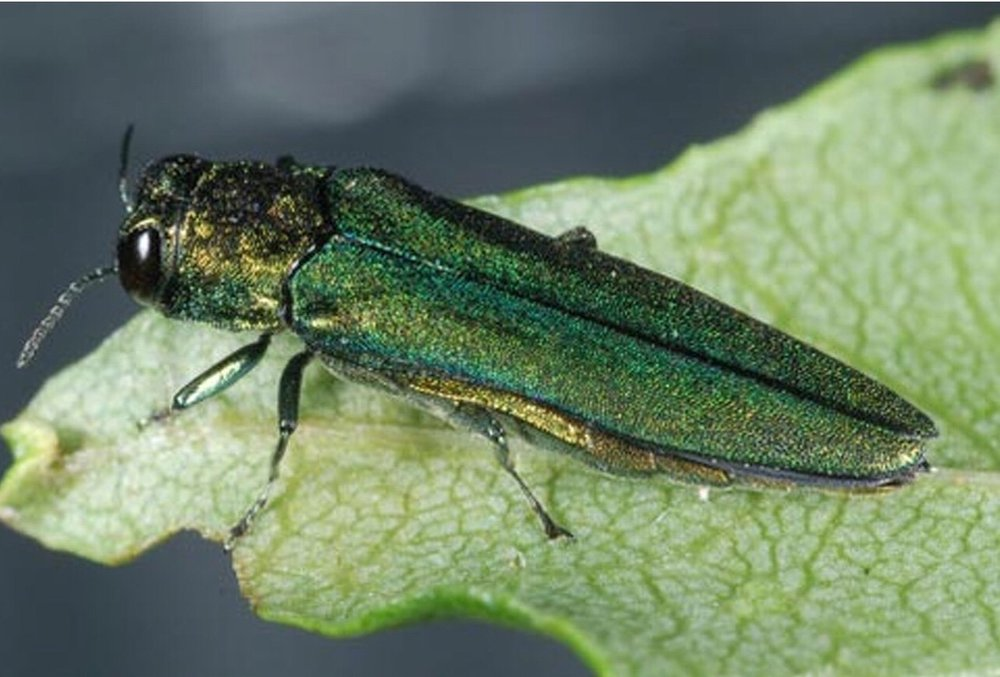 emerald ash borer  Photo credit: Dr. James E. Zablotny, USDA