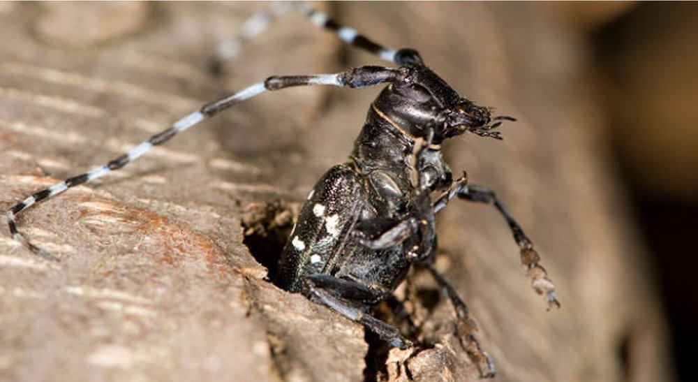 Asian longhorned beetle  Photo credit: USDA