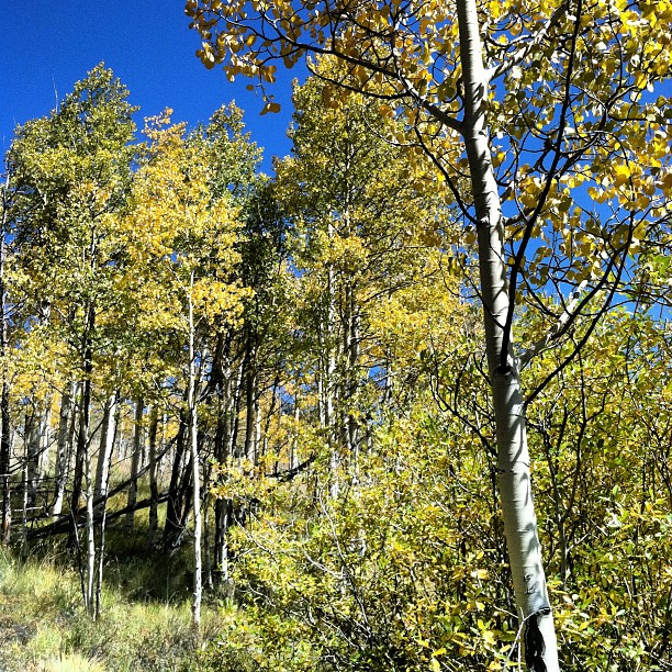 Fall in the Colorado Rocky Mountains.  Yellow Aspen Trees + Fresh Snow. |  Breckenridge, Colorado  |  photos[stacysanchez]