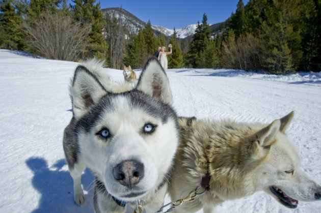 {Real Mountain Wedding} Camilla + Niklas: Dog Sled Adventure Wedding in Breckenridge, Colorado.  |  Photo courtesy of StudioKivaWedding.com.
