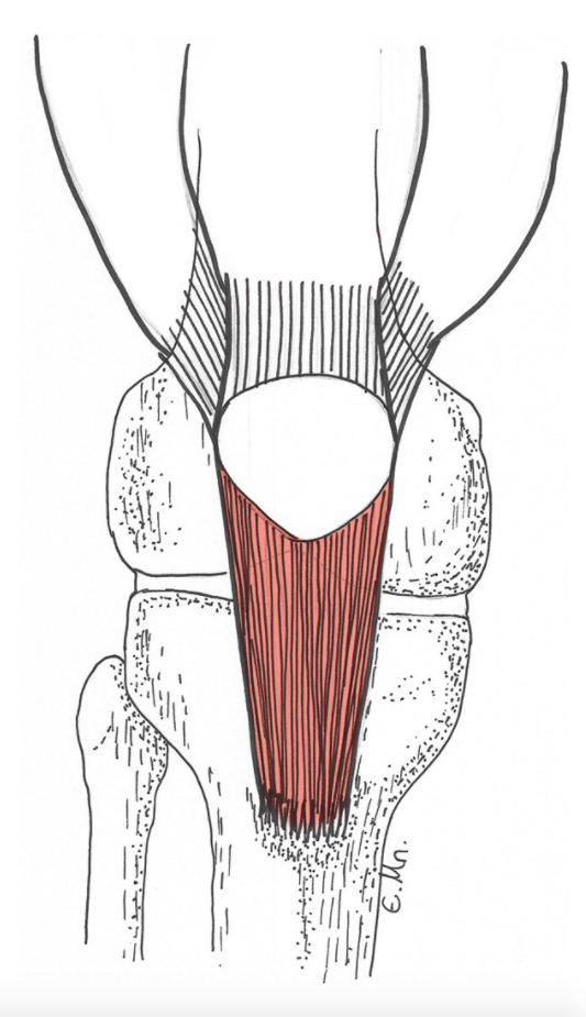 The patellar tendon joins the kneecap to the tibia (shin bone) as shown in this picture of the knee.