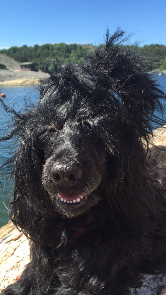 Astrid, portugisisk vattenhund