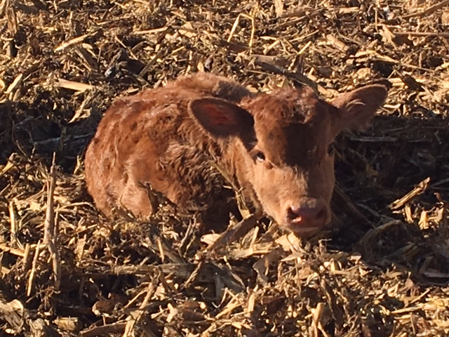 First baby calf of the season!!  Born March 23, 2017....a bull calf, which means a boy!