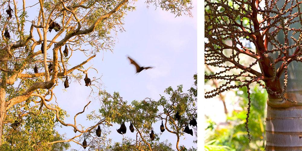 Bats on Great Keppel Island