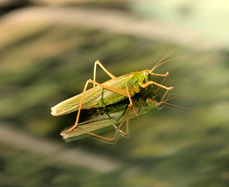 Giant grasshopper photo