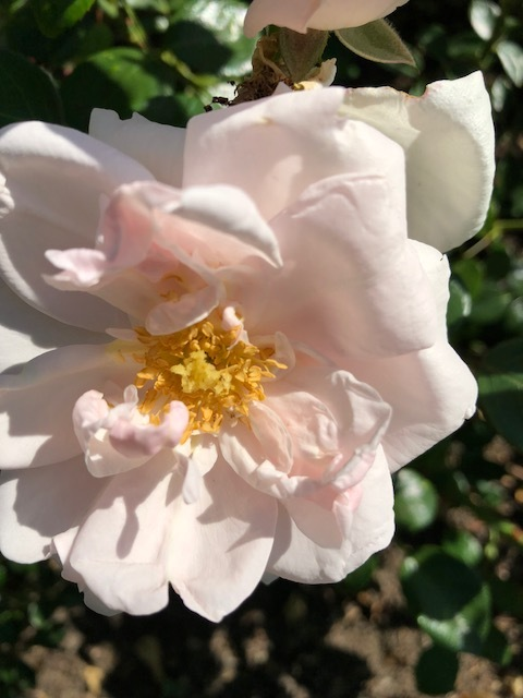 Such a delicate pale pink rose.