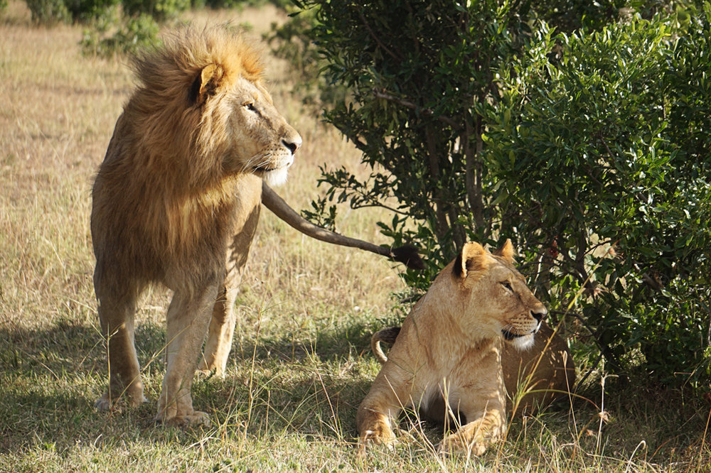 Lion Couple 24 X 16.jpg
