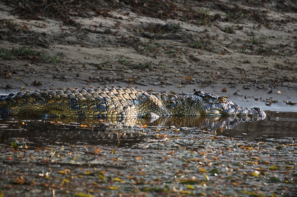Nile Crocodile 30X20.jpg