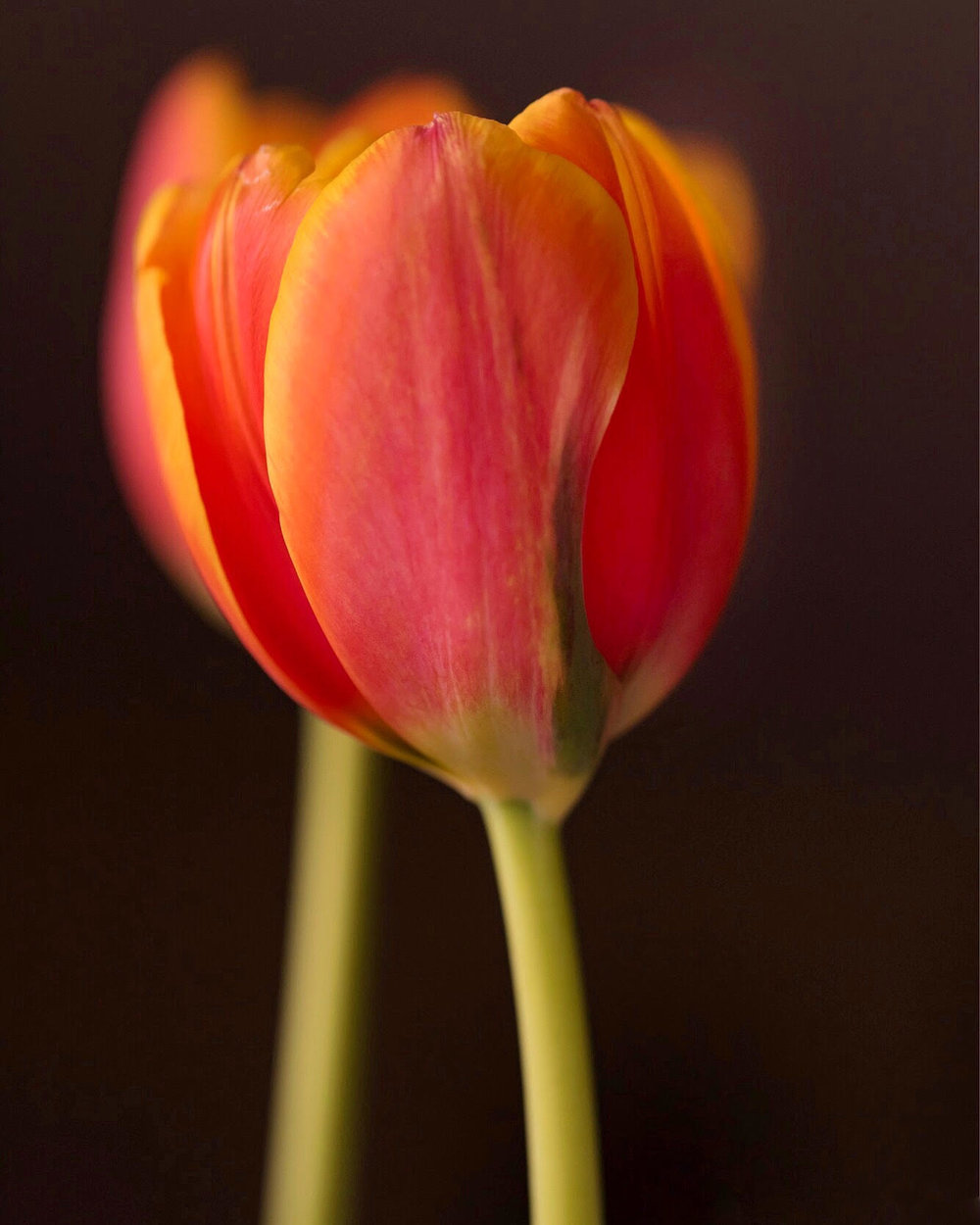 I love the sunset colors in these tulips. When I'm stressed out, I get out my macro lens and get some fresh flowers and create.